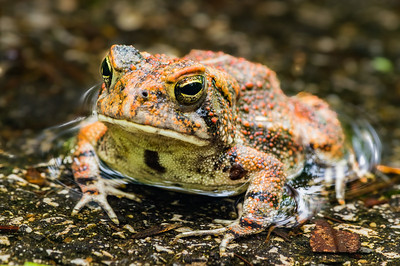 Toad in a Puddle