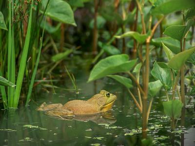 Big O'le Bullfrog