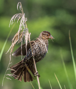 Bird on a Reed