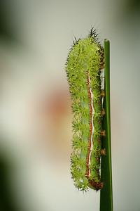 Sleeping Caterpillar