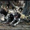 African Wild Dog aka Painted Dog