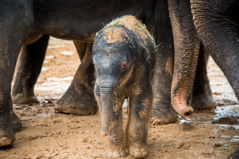 Two-day-old Baby Elephant Duncan's First Time Outside. Born: 2/7/14.