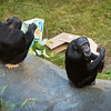 New Chimps First Day Out