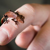 Fantastic Leaf-tailed Gecko Baby