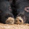 Guinea Hog Piglets - 7/28/10