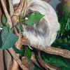 Hoffman's Two-toed Sloth - Succotash