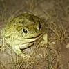 Texas toad