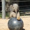 Baby elephant Mac playing