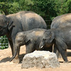 Houston Zoo Elephant Group