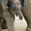 Baby elephant Mac