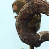 Pygmy Marmosets of the Houston Zoo