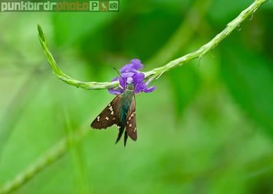 Tropical Moth