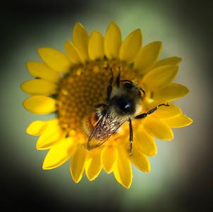 sunflowerbee2
