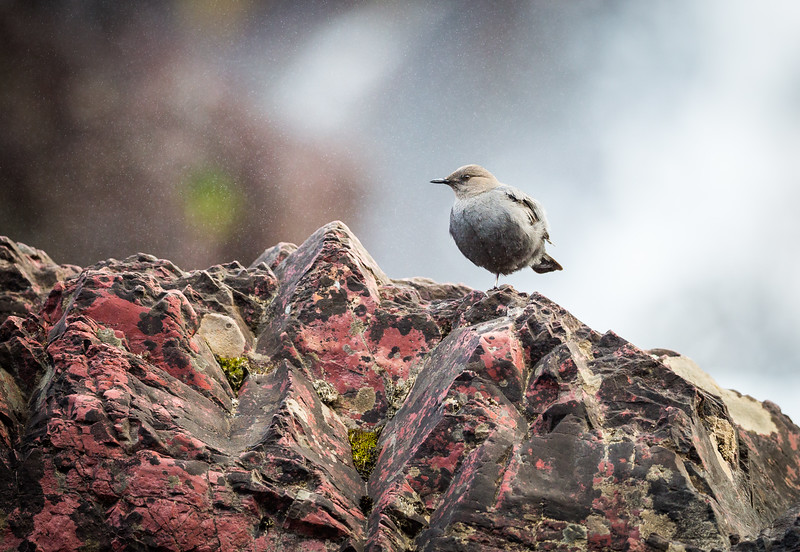 American Dipper Below Red Rock Falls
