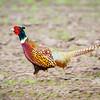 Run Pheasant Run