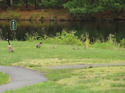 05-16-14 Geese babies Graniteville Rd