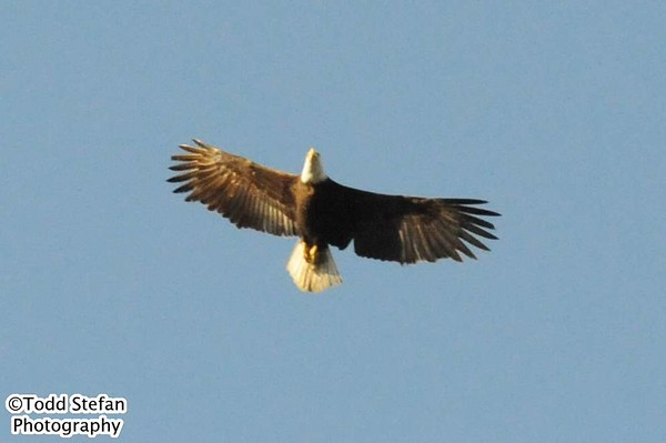 05-30-2015 Bald Eagle
