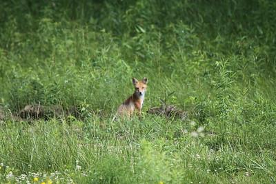 06-27-15 Hummingbird-fox-flowers