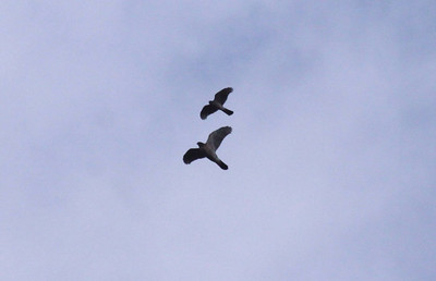 2009 Fall Migration Hawk Mountain