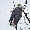 01/24-01/25/15-Buzzards and Eagles in Alton IL.