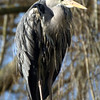 Grey heron on top of Snowy Owl cage