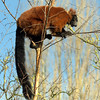 Red Ruffed Lemur does balancing act