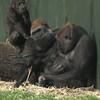 Gorilla Group, is baby top left smelling his breath?