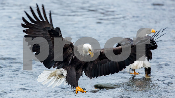 Bald Eagles of the Pacific Northwest