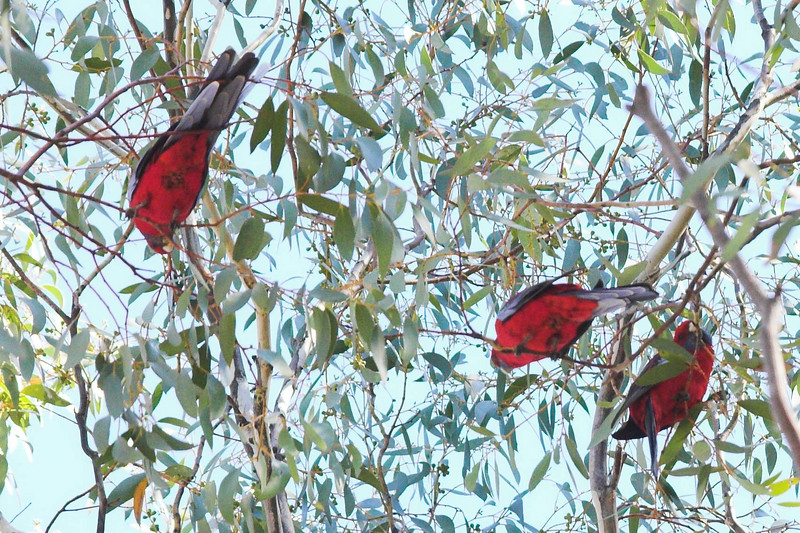 And one last shot of rosellas.