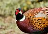 Ring-necked Pheasant, Palo Alto