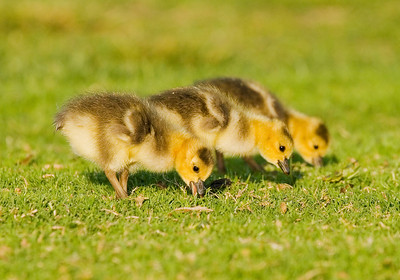 Canada Goose goslings, Mountain View