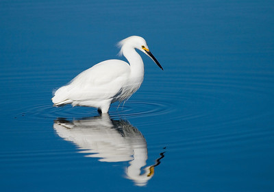 Snowy Egret, Palo Alto