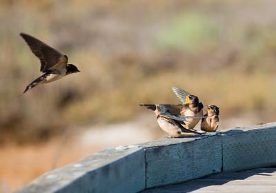 Barn Swallows, Alviso