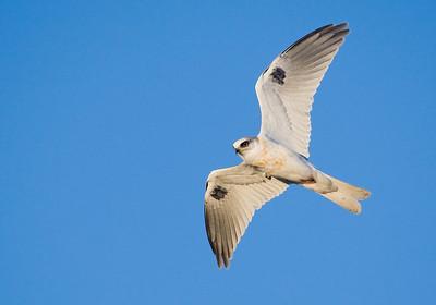 White-tailed Kite, Half Moon Bay