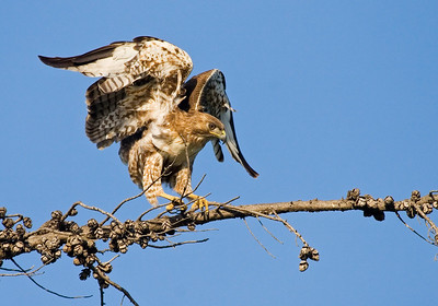 Red-tailed Hawk, Mountain View