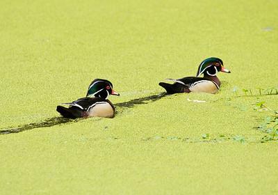 Wood Ducks, Portola Valley