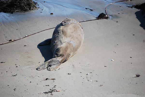 2008 Elephant Seals