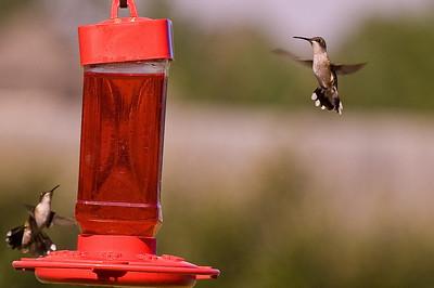 2008 Hummingbirds-3