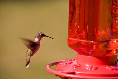 2008 Hummingbirds-14