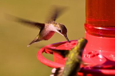 2008 Hummingbirds-16
