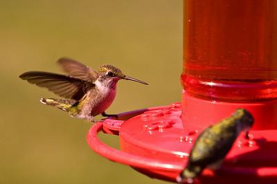 2008 Hummingbirds-18