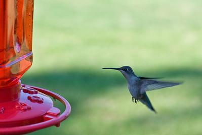 2008 Hummingbirds-27