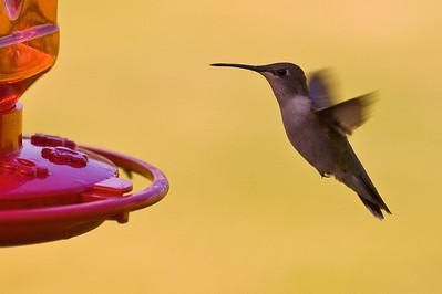2008 Hummingbirds-24