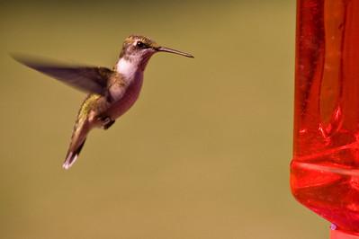 2008 Hummingbirds-12