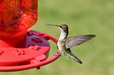 2008 Hummingbirds-1