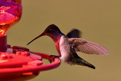 2008 Hummingbirds-5