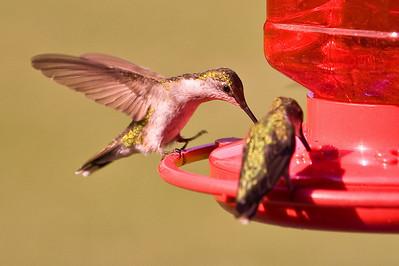 2008 Hummingbirds-11