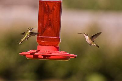 2008 Hummingbirds-4