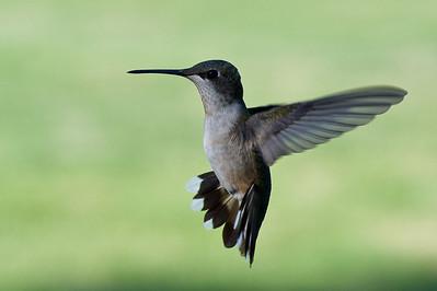 2008 Hummingbirds-30
