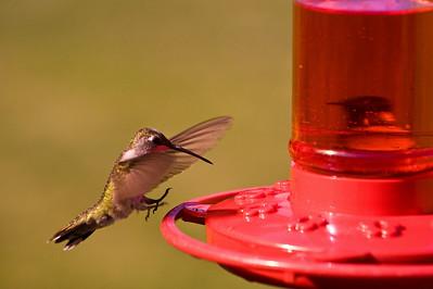 2008 Hummingbirds-20
